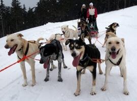Mushing - jízda psím spřežením